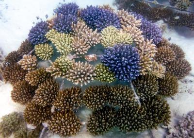 Reefscapers Maldives récifs coralliens