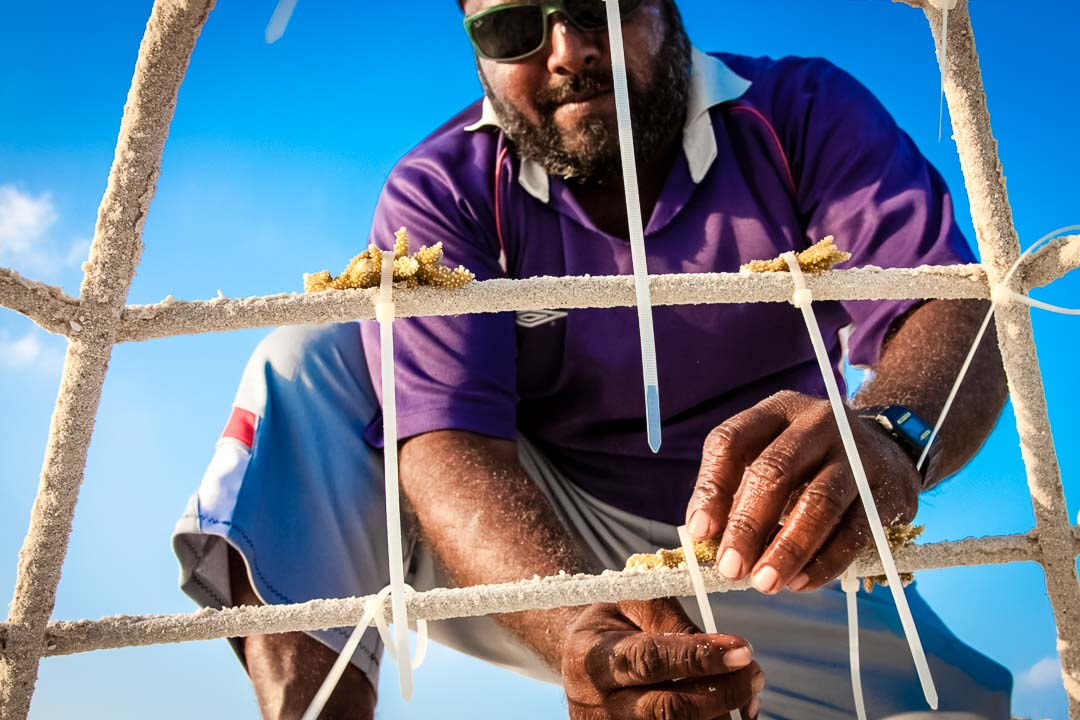 Reefscapers coral frame propagation work on the uninhabited island of Innafushi