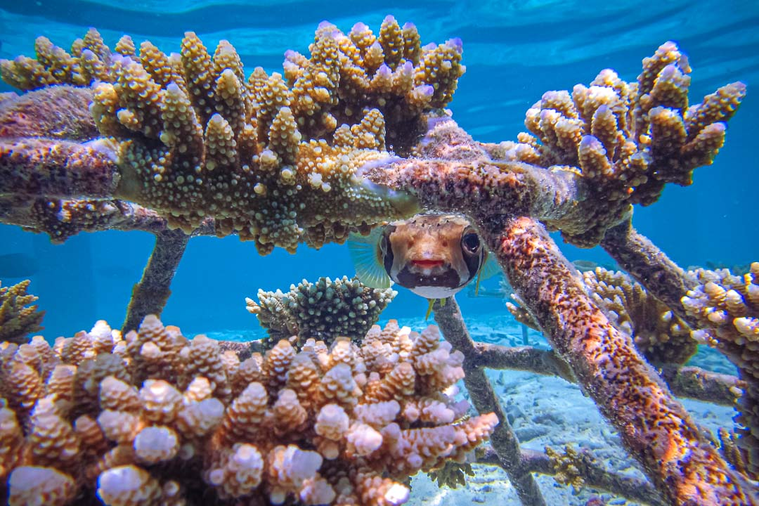 Reefscapers adopt corals sponsorship Maldives