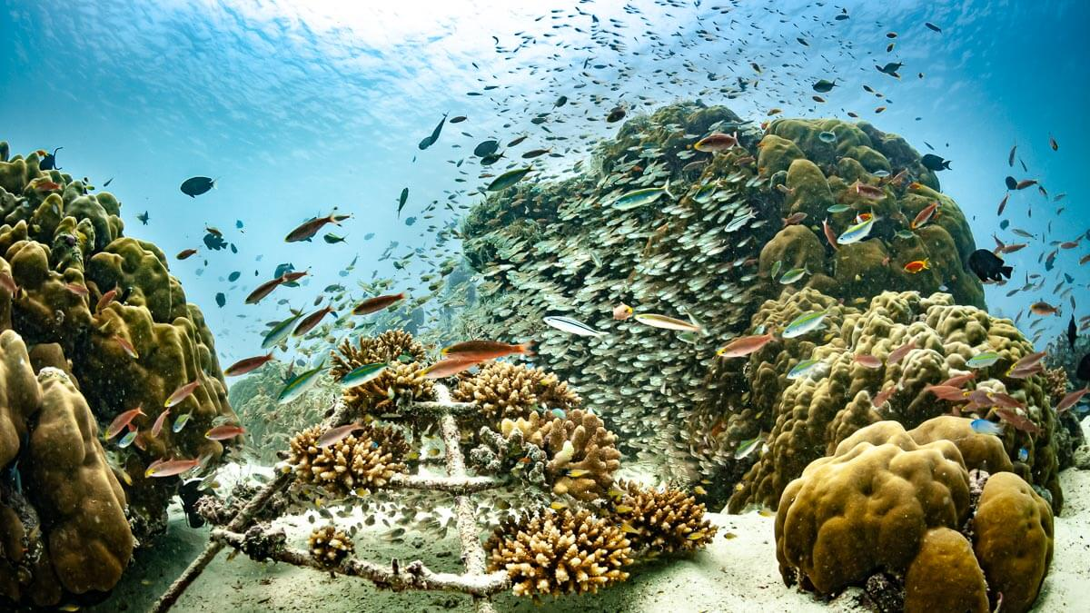 Reefscapers coral adoption and sponsorship Maldives
