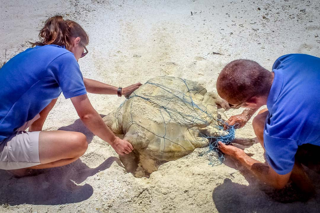 Rescuing an Olive Ridley turtle, trapped in a discarded 'ghost' fishing net