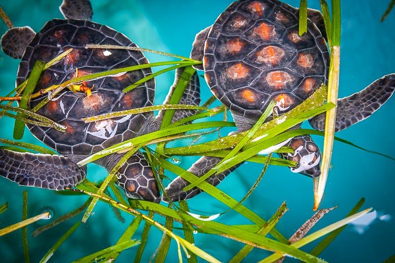 Turtle rearing