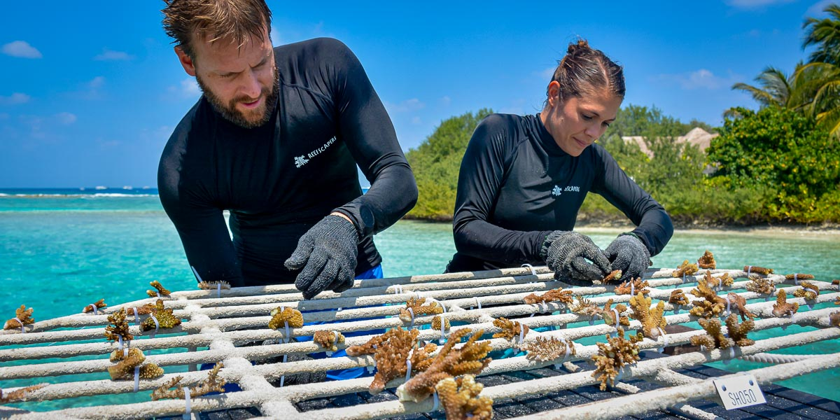 Reefscapers at Sheraton Maldives coral reef propagation